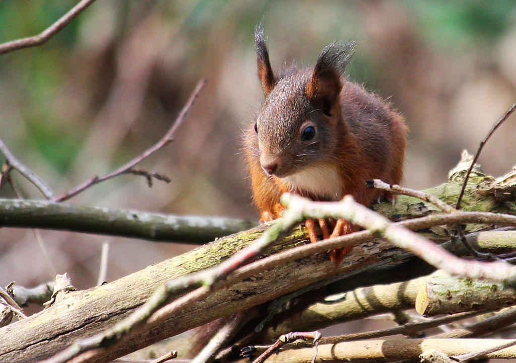 Squirrel1 by wil1969