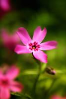 pink is of joy by illiyun