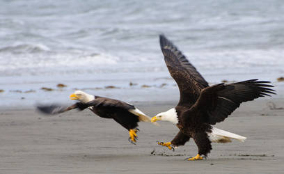 Eagles fight. by JWFisher