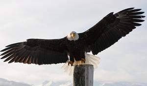 Bald Eagle Full Spread