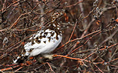 Ptarmigan Denali 2010 by JWFisher