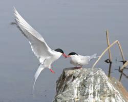 Tern of Love by JWFisher