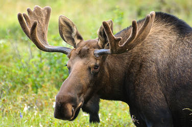 Moose Flattop 10 by JWFisher