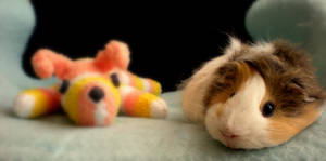 Guinea pig Bony and sock dog