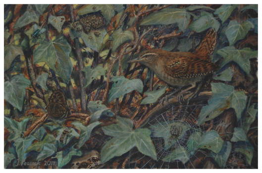 Wren undergrowth