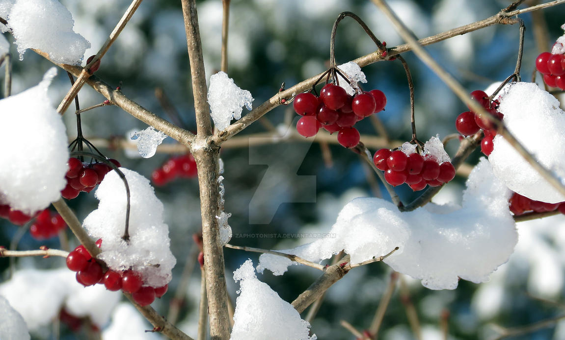 Winter Berries by zaphotonista