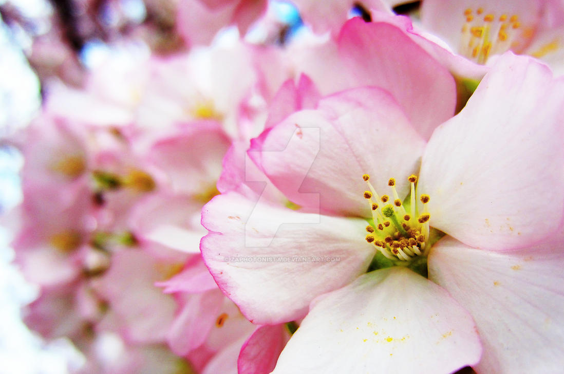 Cherry Blossoms 7 by zaphotonista on DeviantArt