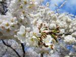 Cherry Blossoms 11