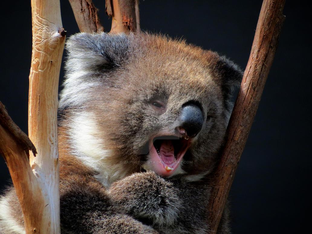Koala 2 by zaphotonista