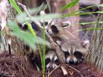 Bundle of Raccoons