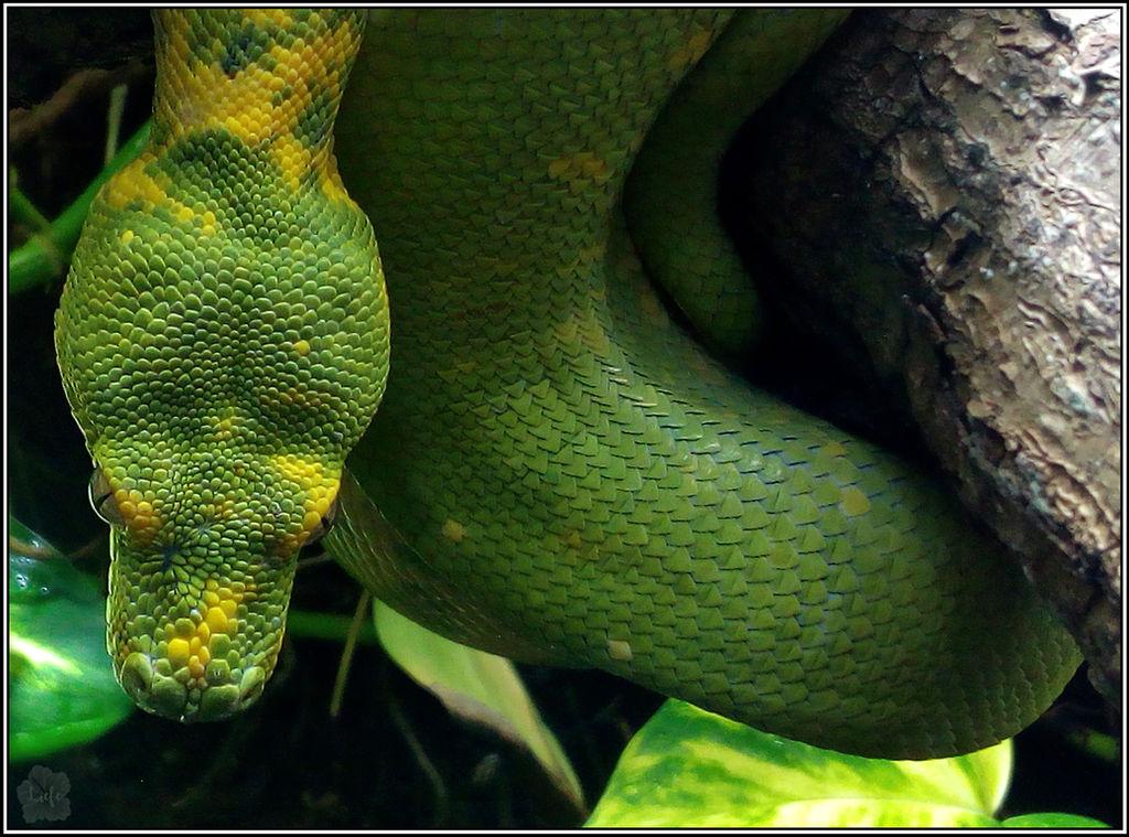 Green Tree Python Portrait (Morelia viridis)