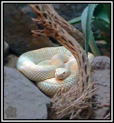 Albino Eastern Diamondback (Crotalus adamanteus)