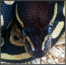 Ball Python Portrait (Python regius)