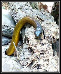 Inland Taipan (Oxyuranus microlepidotus)