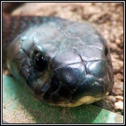 Arabian Cobra (Naja arabica)