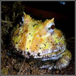 Pacman Frog Portrait (Ceratophrys cranwelli)