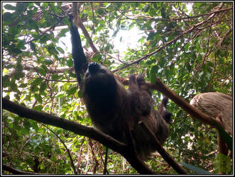 Two-toed Sloth (Choloepus didactylus)