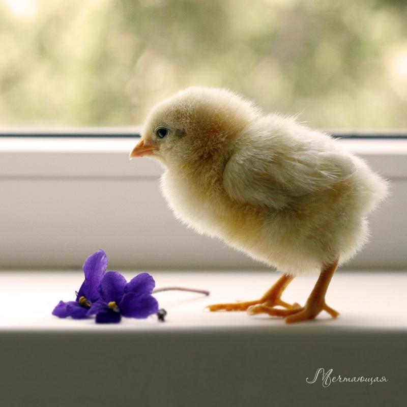Chicken... by mechtaniya