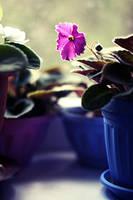 Pink violet... by mechtaniya