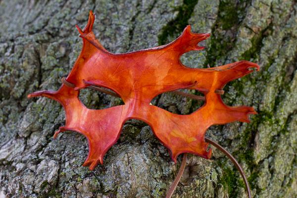 Oak Leaf Handmade Leather Mask by OsborneArts