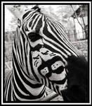 Careful at the Zebra