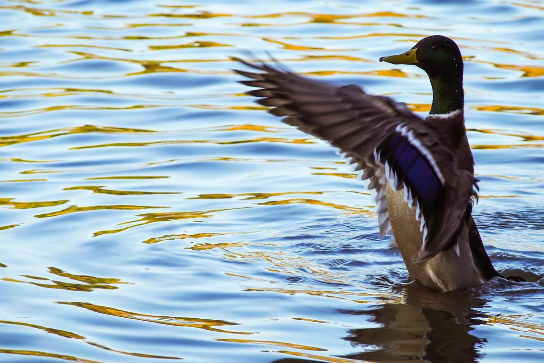 Flappy Duck by ChrisReach