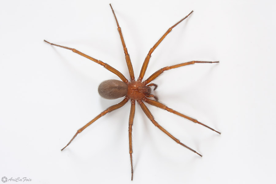 Chilean Recluse Spider - 7 of the World's Most Poisonous ... |Chilean Recluse