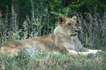 Lioness by WoodenOx