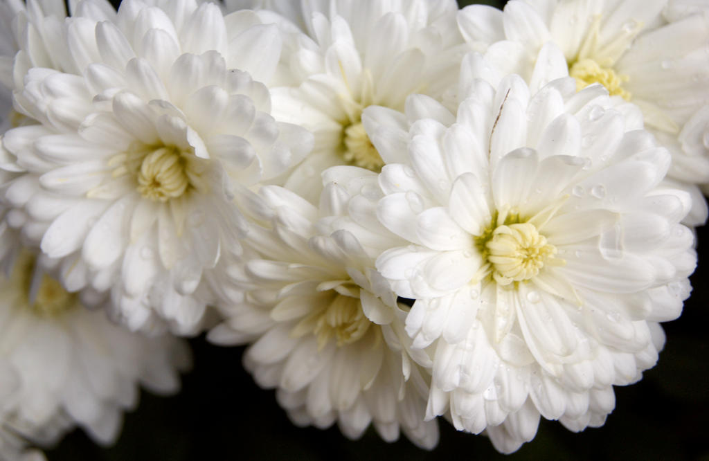 white flower close up by woodenox on deviantart, Natural flower