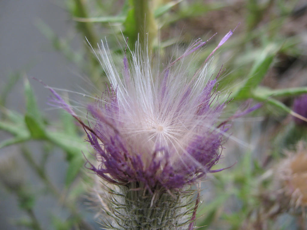 Thistle, 1 by Cericonversion