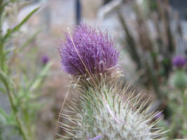 Thistle, 2 by Cericonversion