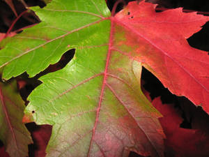Flashlit leaf, 1