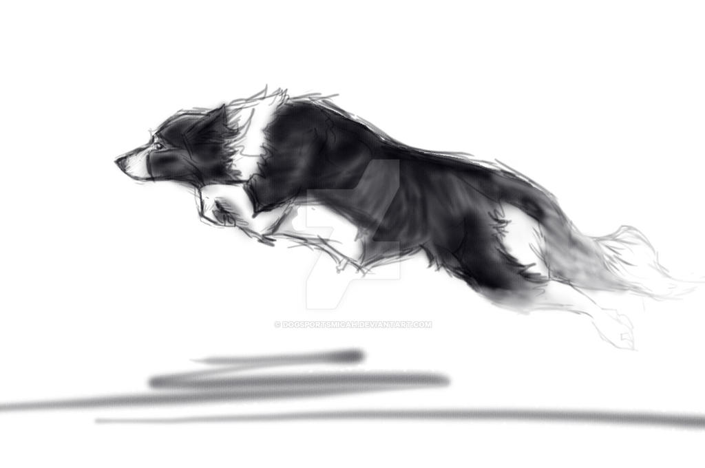 border collie in motion by dogsportsmicah