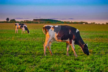 Cows Eating at Rural Environment, San Jose - Urugu