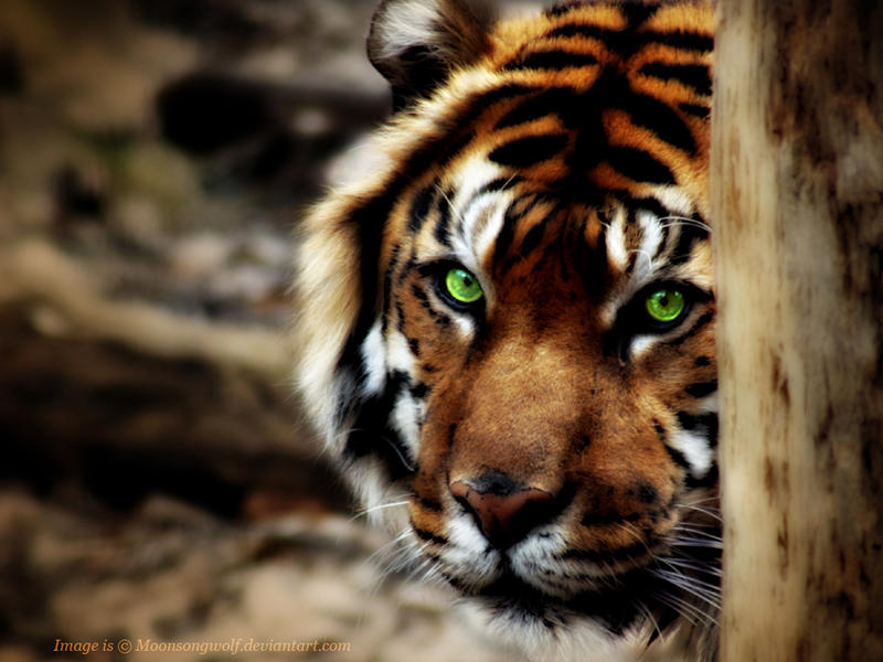 Green tiger eyes - photo#34