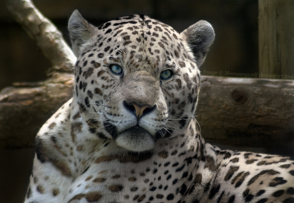 White Jaguar by MoonsongWolf