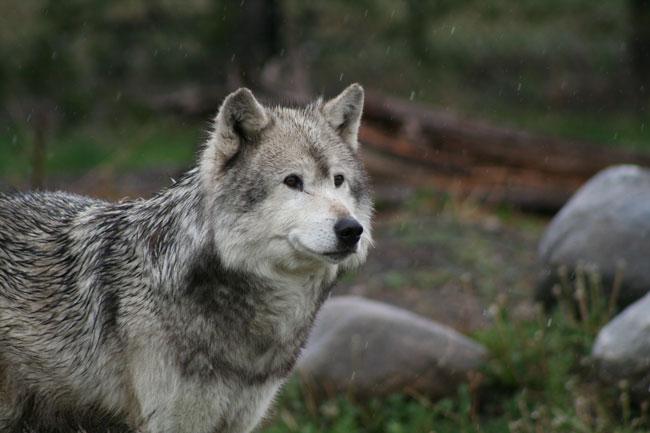 Долина Неакрис - Страница 2 Grey_Wolf_Portrait_by_DancingCavy