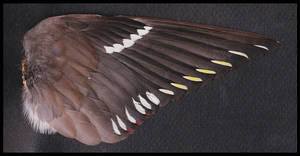 Waxwing wing