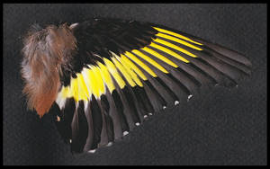 Goldfinch wing by TichodromaMuraria