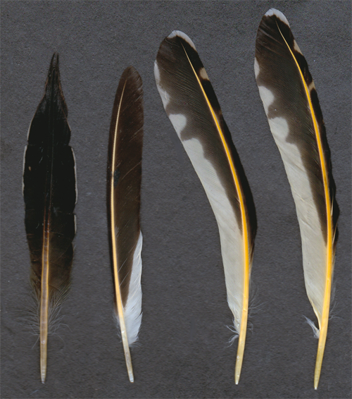 Northern flicker feathers by tichodromamuraria on deviantart for Where can i buy feathers for crafts