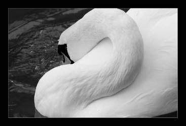 Swan by goranbanina