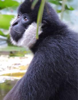 White Cheek Gibbon Portraite