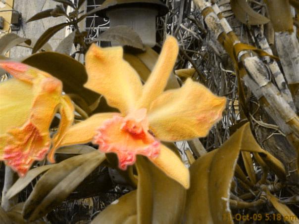 Orchids by CrazyAardvark