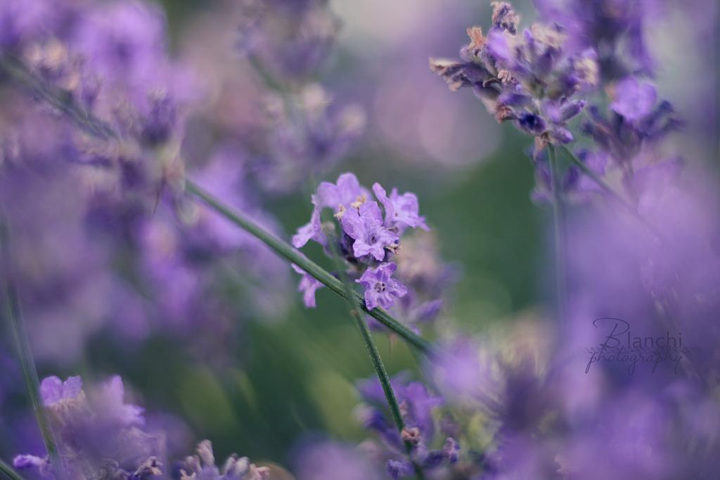 purple dream by Blanchii