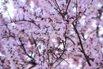 Almond bloom by hamzah2709