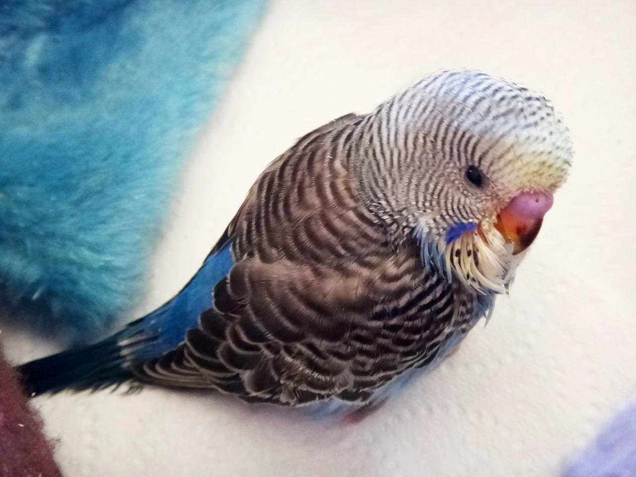 What is(are) the gender of my budgie(s)?  