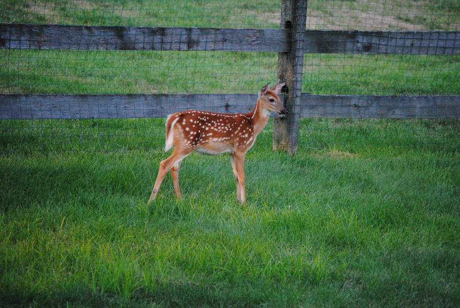 White Tailed Deer Fawn 1.4