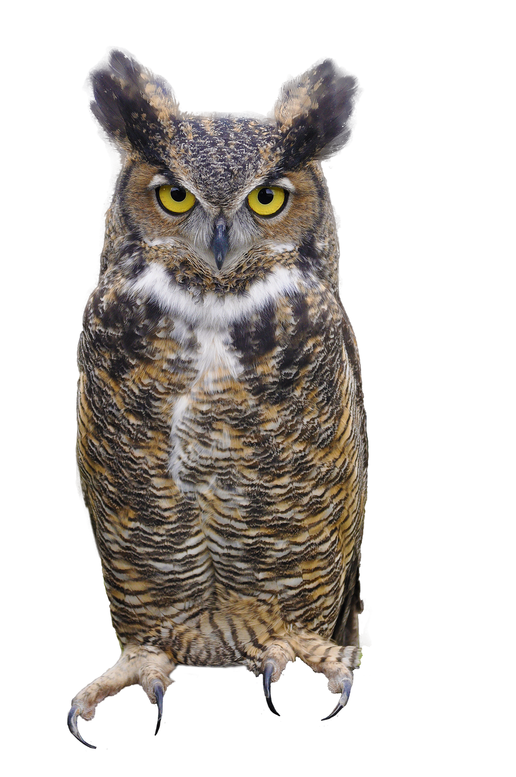 023+ Great Horned Owl  PNG