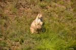 129+ Prairie Dog