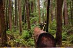Redwoods 903 Stock
